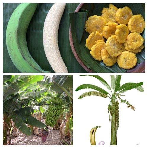 Plantas Alimenticias del Ecuador comestibles