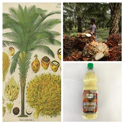 Planta palma africana o palma aceitera