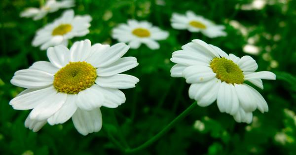 Lista de plantas medicinales del ecuador y para que for Plantas ornamentales del ecuador